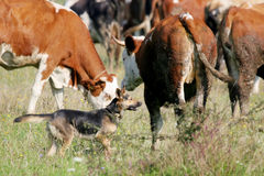 Dog in cow flock Royalty Free Stock Image