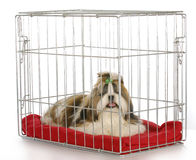 Dog in a crate. Purebred shih tzu puppy on white background royalty free stock photos