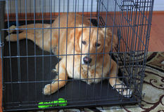 Golden Retriever Dog in Crate. For House training, obedience training, waiting for adoption, rescue or as a safe, secure den Royalty Free Stock Images