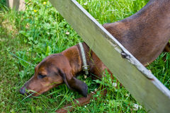 Dog crawling under fence. A view of a coon hound crawling or ducking under a wooden fence royalty free stock photography