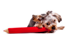 Dog with crayon Stock Image