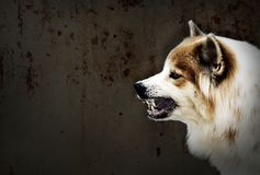 Dog crazy threaten show fangs have drooling. is a symptom of rabies. stock images