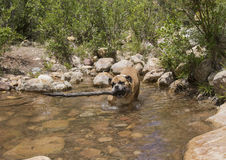 A dog, in a creek, with a big stick Stock Image