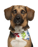 Dog, cross breed with a beagle, 2 years old Royalty Free Stock Image