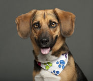 Dog, cross breed with a beagle, 2 years old Stock Photography
