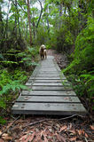 Dog crossing boardwalk in rainforest Royalty Free Stock Image
