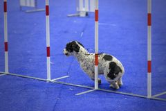 Dog crossing an obstacle in an agility test royalty free stock photo