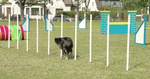 A dog crossing over ten sticks in a dog show 4K FS700 Odyssey 7Q. A dog crossing over ten sticks in a dog show shows agility 4K FS700 Odyssey 7Q stock video