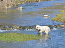 Dog crossing  the river Stock Photography