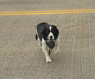 Dog crossing road carrying leash Royalty Free Stock Photos