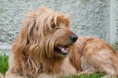 Dog crouched resting Stock Images
