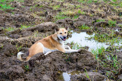 Dog, crouching in the field. Is wet Stock Photos