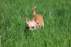 Dog Crouching in a Grass royalty free stock photo