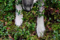 Dog Crouching In Forest. Dog crouching or hunting in forest, overhead cropped image with particular focus Stock Image