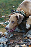 Dog Crouching by River on Rock Stock Photography