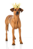 Dog with crown. Isolated on white Stock Photo