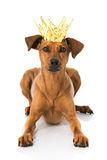 Dog with crown. Isolated on white Royalty Free Stock Photos