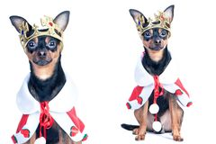 Dog in the crown, like a king, a prince. Portrait of a close-up. Of a dog of black color, toyterrier, chihuahua Stock Images