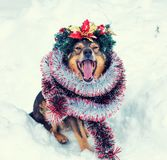 A dog crowned Christmas wreath. Portrait of a dog entangled in colorful tinsel and crowned Christmas wreath. Dog walking in the snow outdoor royalty free stock images
