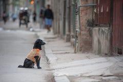 Dog on Cuban Street stock images