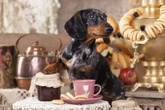 Dog and cup tea. Dachshund dog and cup tea royalty free stock image