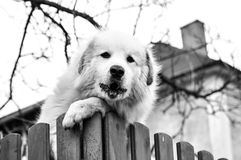 Dog. Curious dog on a fence Royalty Free Stock Image
