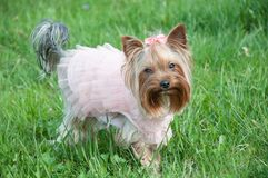 Dog, cute, animal, funny, green, grass, dress. A cute dog in a pink dress with a bow on a green grass, a funny animal royalty free stock images