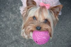 Dog, cute, ball, pink, bow, game, animal, funny, gray. A cute dog in a pink dress with a bow, a funny animal with a ball Stock Photos