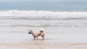 Dog running happy fun on beach when travel at sea Stock Photography