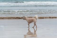 Dog running happy fun on beach when travel at sea Stock Image