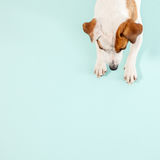 Dog. Cute dog. Lying pet. Copy space Royalty Free Stock Images
