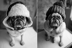 Dog, a cute pug in a winter hat sits, looks into the camera. A s. Tylish, black-and-white portrait of a pug, two pugs royalty free stock image