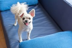Dog so cute standing on sofa looking at something. Dog so cute mixed breed with Shih-Tzu, Pomeranian and Poodle standing on sofa and looking at something with stock photos