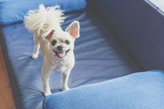 Dog so cute standing on sofa looking at something. Dog so cute mixed breed with Shih-Tzu, Pomeranian and Poodle standing on sofa and looking at something with royalty free stock photo