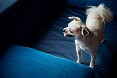 Dog so cute standing on sofa looking at something. Dog so cute mixed breed with Shih-Tzu, Pomeranian and Poodle standing on sofa and looking at something with stock photo