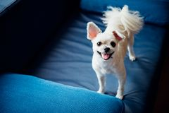 Dog so cute standing on sofa looking at something. Dog so cute mixed breed with Shih-Tzu, Pomeranian and Poodle standing on sofa and looking at something with stock images