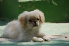 White Pekingese Pup Stock Photo