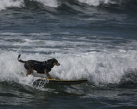 Dog cutting and surfing a wave. Surfing Dog riding and cutting on a wave at the beach Royalty Free Stock Photos