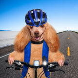 Dog cyclist. Royalty Free Stock Photography