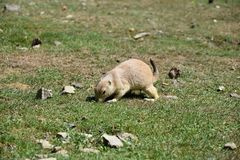 Cynomys ludovicianus. Seeks food in the grass. Stock Photography
