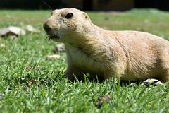 Cynomys ludovicianus. Seeks food in the grass. Royalty Free Stock Photos