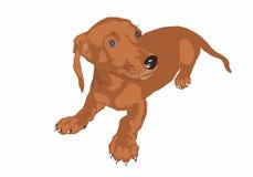 Dog_dachshund Royaltyfri Foto