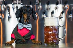 Dog dachshund bartender, black and tan, in a bow tie and a suit at the bar counter sells a large glass of beer on the background o. F a wall with beer taps royalty free stock photos