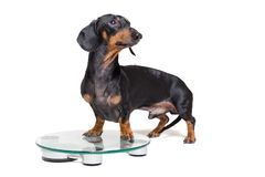 Dog dachshund, black adn tan, on a scales, isolated on white background.  stock photography