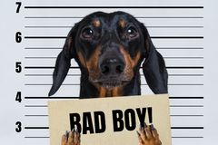Dog dachshund, black and tan, holding a police department banner with an inscription bad doy at police office stock image