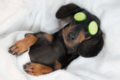 Dog dachshund, black and tan, relaxed from spa procedures on face with cucumber, covered with a towel royalty free stock photography