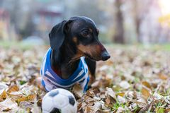 Dog dachshund, black and tan, in white blue clothes T-shirt playing with a toy ball in the street in the autumn leaves stock photography