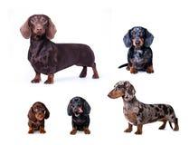 Dachshund dog portrait over white background Stock Photo