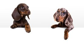 Dog dachshund with blank billboard Stock Photos