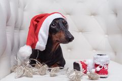 Dog of Dachshund breed, black and tan, in Santa Claus Christmas cap, boots and garland lies in a white armchair.  stock images